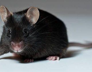 К чему снится черная мышь?