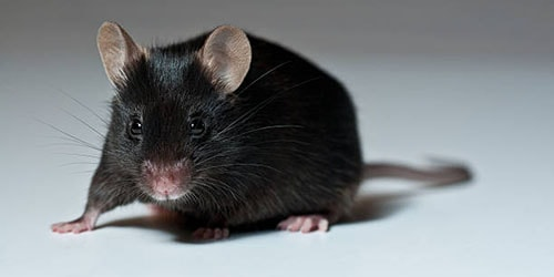 черная мышь