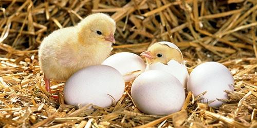 сонник яйца вылупляются птенцы