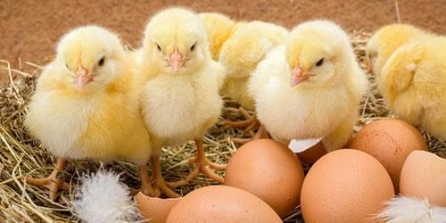 Сонник цыплята вылупляются к чему снится цыплята вылупляются во сне