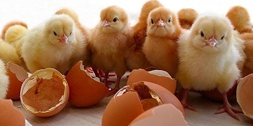 к чему снится что цыплята вылупляются