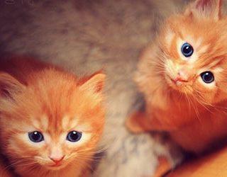 Рыжие котята