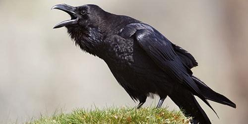 ворона нападает во сне