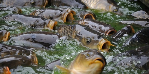 много рыбы в воде