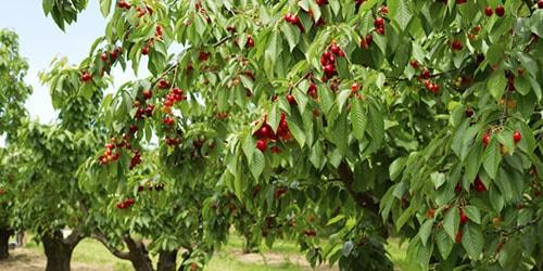 деревья с плодами