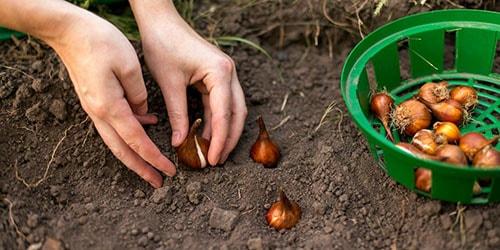 сажать луковицы