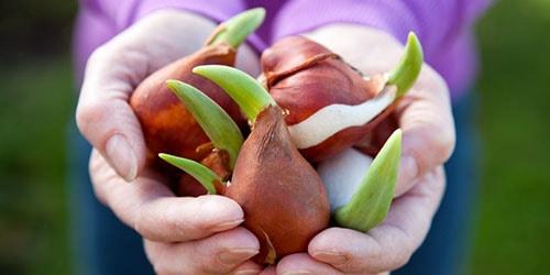 луковицы в руках