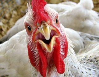 К чему снится мертвая курица?