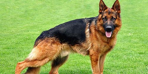 породистый пес