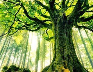 К чему снится большое дерево?