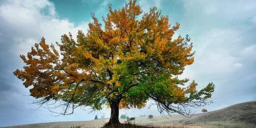 пожелтевшее дерево