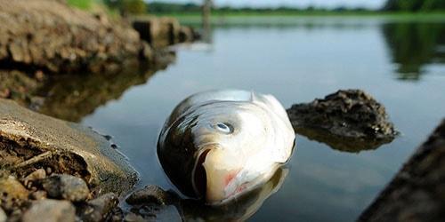 дохлая рыба в реке