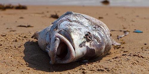 мертвая рыбина