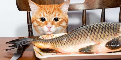 голодный кот