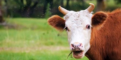 жующая корова