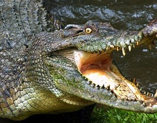 Крокодил нападает