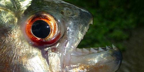 зубастая рыба