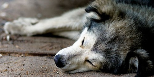 дохлая собака