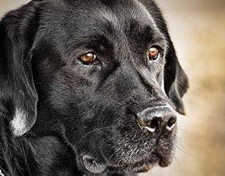 Сонник черный пес
