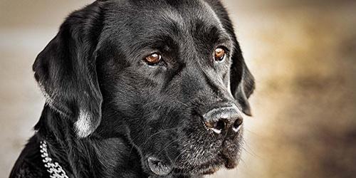 черная собака