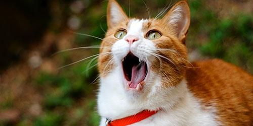 зевающий кот