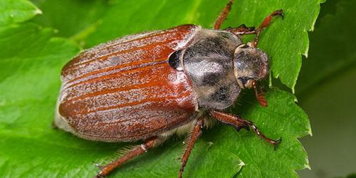 К чему снится майский жук?