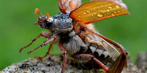 Приснился майский жук