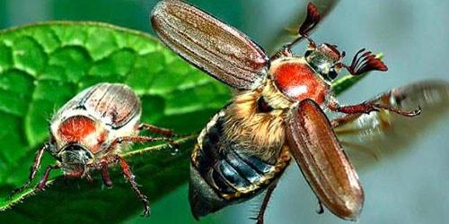 летящий жук