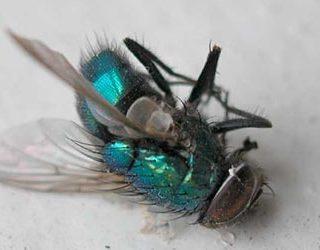 Дохлые мухи