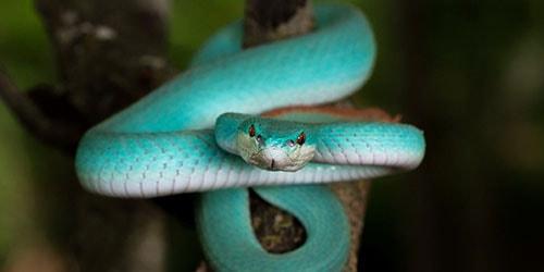 бирюзовая змея