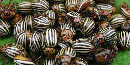 много колорадских жуков