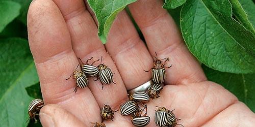 жуки на теле