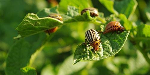 жуки на картошке