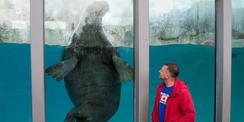 морж в аквариуме