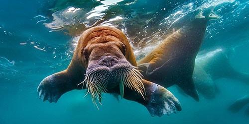 морж в море