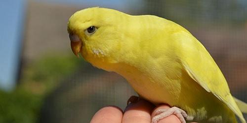 поймать попугая руками