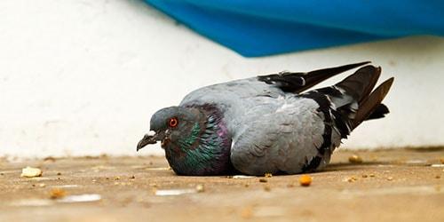 раненый голубь