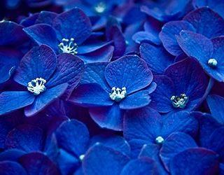 К чему снятся синие цветы?