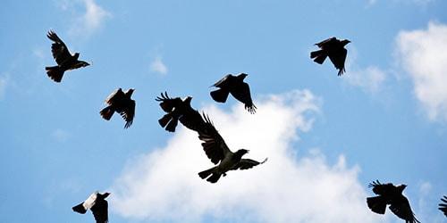 черные вороны