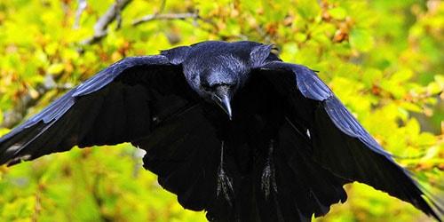 черная ворона