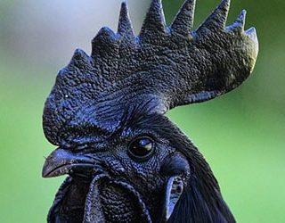 К чему снится черный петух?