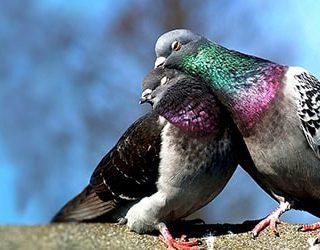 Сонник пара голубей