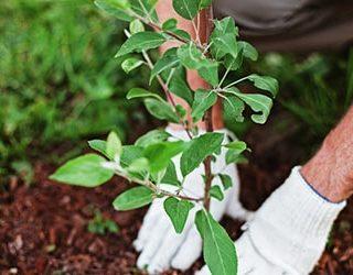Пересаживать дерево