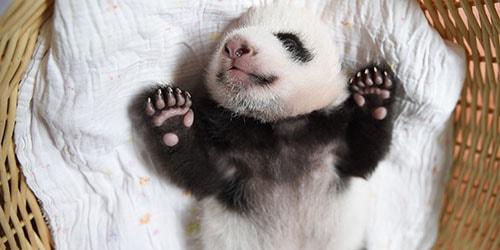 детеныш панды