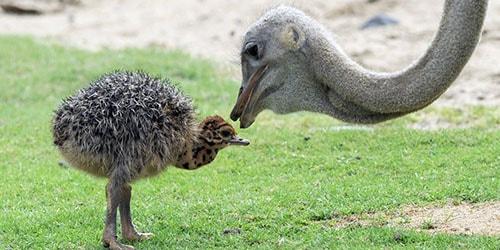страус с детенышем