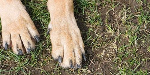 собачьи лапы