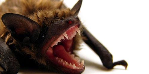 зубы летучей мыши