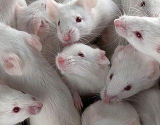 К чему снится много белых мышей?