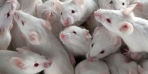много белых мышей