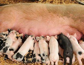 К чему снятся свиньи и поросята?